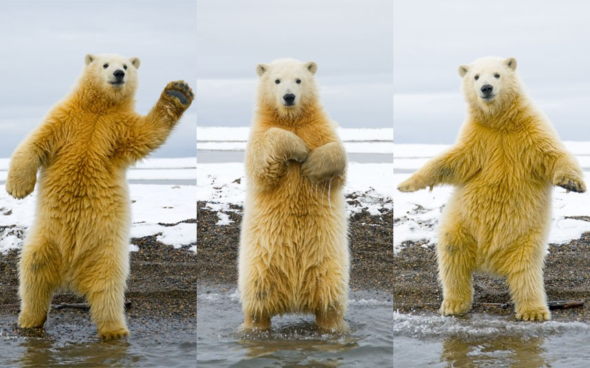dancing-polar-bear_2327218k